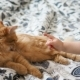 Cute Ginger Cat Lying in Bed. Fluffy Pet Is Licking Its pawsLittle Baby Strokes Kitty. Cozy Home - VideoHive Item for Sale