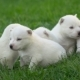 White Husky Puppies - VideoHive Item for Sale