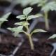 Growing Tomatoes Seedlings - VideoHive Item for Sale