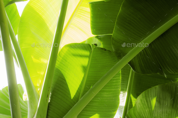 bananas leaves with sunlight - Stock Photo - Images