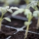 Growing Tomatoes Seedlings - VideoHive Item for Sale