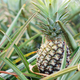 Pineapple in farm with growing - PhotoDune Item for Sale