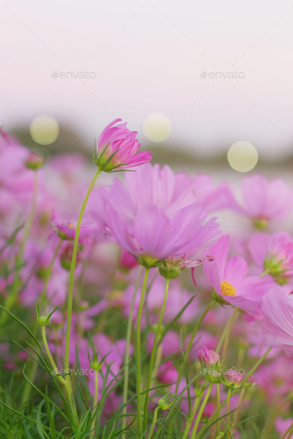 Pink flowers at sky - Stock Photo - Images