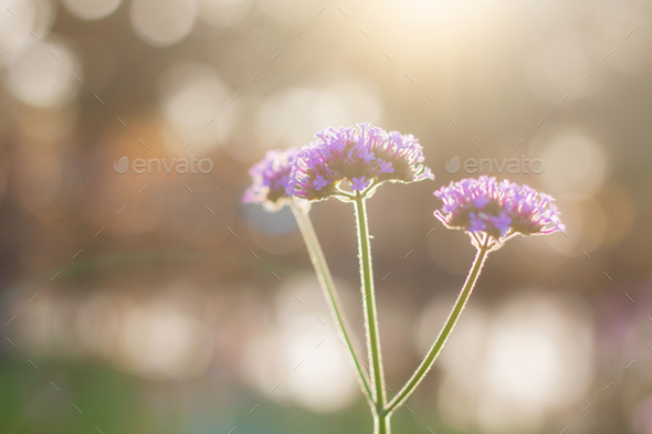 Purple flowers at morning - Stock Photo - Images