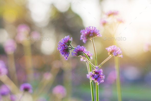 Purple flowers at sunrise - Stock Photo - Images