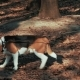 Beautiful Beagle Dog - VideoHive Item for Sale