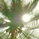 Sun Shining Through Coconut Palm Leaves, - VideoHive Item for Sale