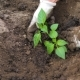 The Farmers Hands To Loosen The Soil Around And Planting Seedlings Of Tomatoes - VideoHive Item for Sale