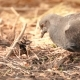 A Bird Pigeon Searches for Food on the Ground in the Forest, Plowing Its Beak in - VideoHive Item for Sale