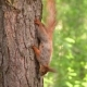 The Squirrel in the Forest Climbs Down the Trunk of the Tree and Stops To Look at the Camera in - VideoHive Item for Sale