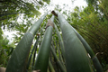 Bamboo trees looking up - PhotoDune Item for Sale