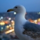 Fly Gull Bird City Light - VideoHive Item for Sale