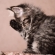 Funny Kitten Licks Paw and Washes - VideoHive Item for Sale