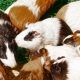 Guinea Pigs Eating Food - VideoHive Item for Sale