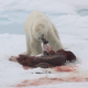 Polar Bear Feeding from a Seal - VideoHive Item for Sale