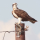 Osprey Eating Fish On Electric Pole - VideoHive Item for Sale