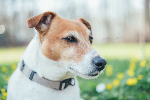 Jack russel terrier on flowers meadow - Stock Photo - Images