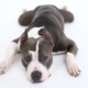 American Pit Bull Terrier Lies on a White Background in Studio - VideoHive Item for Sale