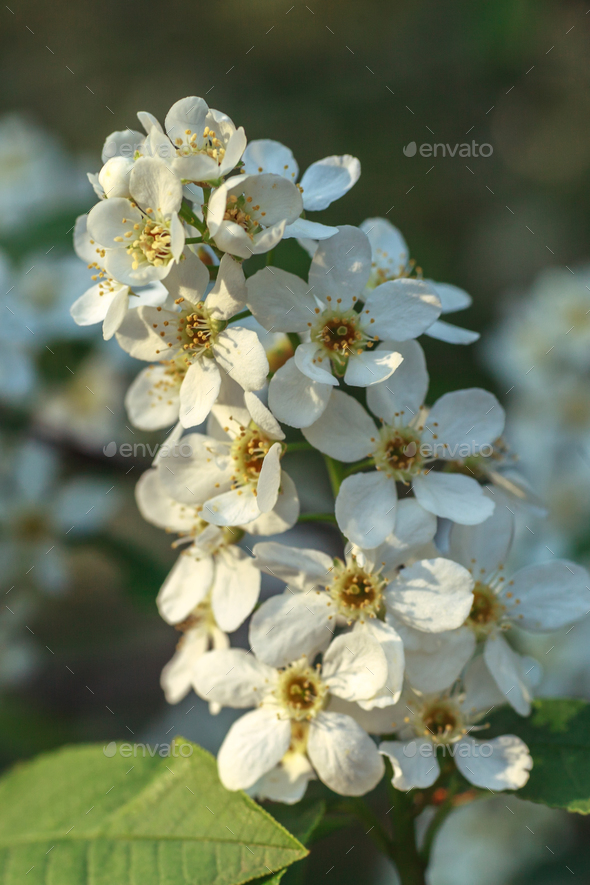 beutiful flowers of cherry tree - Stock Photo - Images