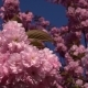 Cherry Blossom Season - VideoHive Item for Sale