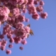 Pale Pink Cherry Blossom Flowers Blooming on the Blue Sky Background - VideoHive Item for Sale