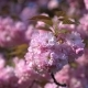 Japan Cherry Branch with Blooming Flowers. Blurred Cherry Blossom Tree on the Background - VideoHive Item for Sale