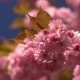 Sunlights Touches Sakura Branchlet in Morning Sunrise. Blurred Japan Cherry Tree - VideoHive Item for Sale