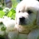 Beautiful Golden Retriever Puppy Sitting in a Basket with Flowers in Nature - VideoHive Item for Sale
