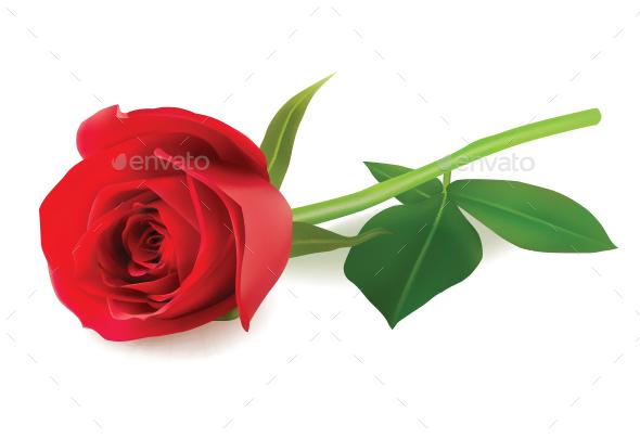 Rose - Flowers & Plants Nature