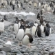 Gentoo Penguins on the Beach - VideoHive Item for Sale