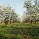 Blooming Apple Orchard - VideoHive Item for Sale