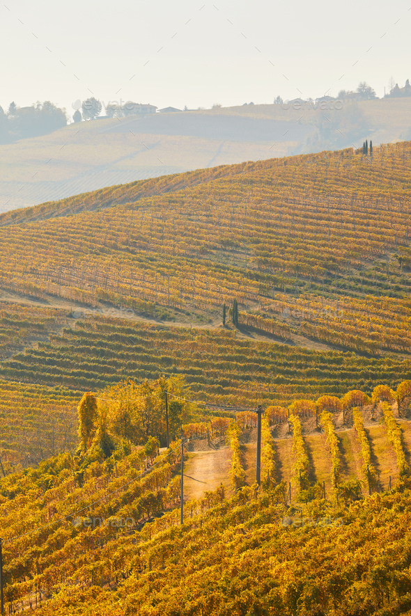 Vineyard in autumn with yellow leaves and path in a sunny day - Stock Photo - Images
