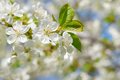 Branch of cherry flowers in springtime - PhotoDune Item for Sale