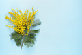 Mimosa flowers on blue background - PhotoDune Item for Sale