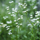 Chamomile flowers on green background - PhotoDune Item for Sale