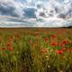 Poppy field - PhotoDune Item for Sale