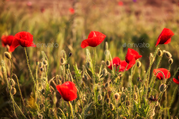 Poppies - Stock Photo - Images