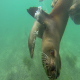 Sea Lion Galapagos Under Water - VideoHive Item for Sale