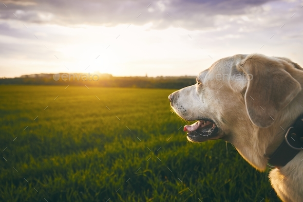 Happy dog at the sunset - Stock Photo - Images
