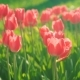 Beautiful Pink Tulips Sway in the Wind - VideoHive Item for Sale