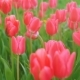 Tulips Blossomed. Fresh Flowers Tulips Swaying in the Wind. A Large Number of Tulips with Pink Buds - VideoHive Item for Sale