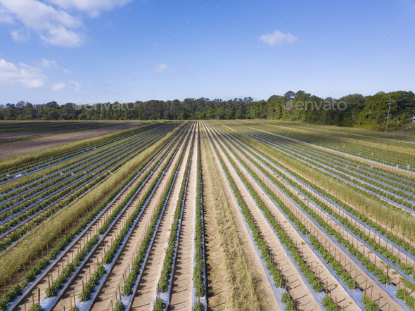 Aerial view of healthy, lush tomato field in South Carolina, USA - Stock Photo - Images