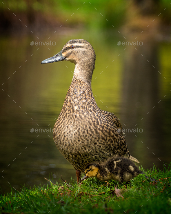 mother and duckling - Stock Photo - Images