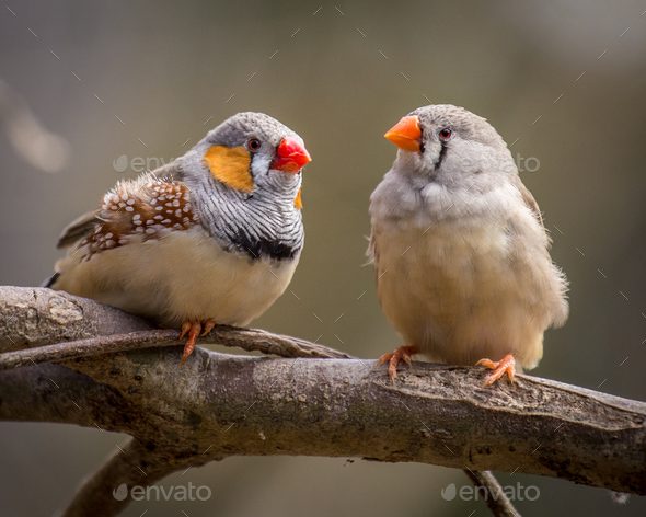zebra finches - Stock Photo - Images