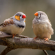 zebra finches - PhotoDune Item for Sale