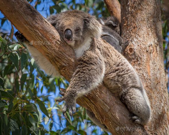 koala in tree - Stock Photo - Images