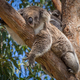 koala in tree - PhotoDune Item for Sale