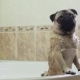 Dog in the Bathroom. Washing Dog. Pug - VideoHive Item for Sale