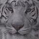 Muzzle of White Tiger Looking at You - VideoHive Item for Sale