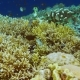 Intact Colorful Coral Reef with Lot of Tropical Fish in Raja Ampat, Indonesia - VideoHive Item for Sale